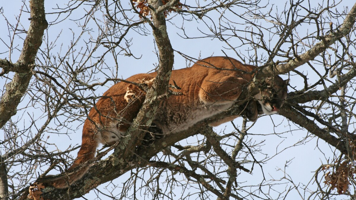 WATCH: Possible mountain lion spotted lurking in DC