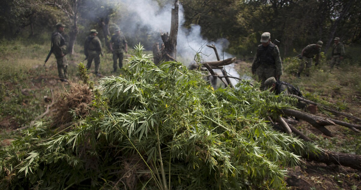 Mexico torches 13-square-mile marijuana grow site near US border