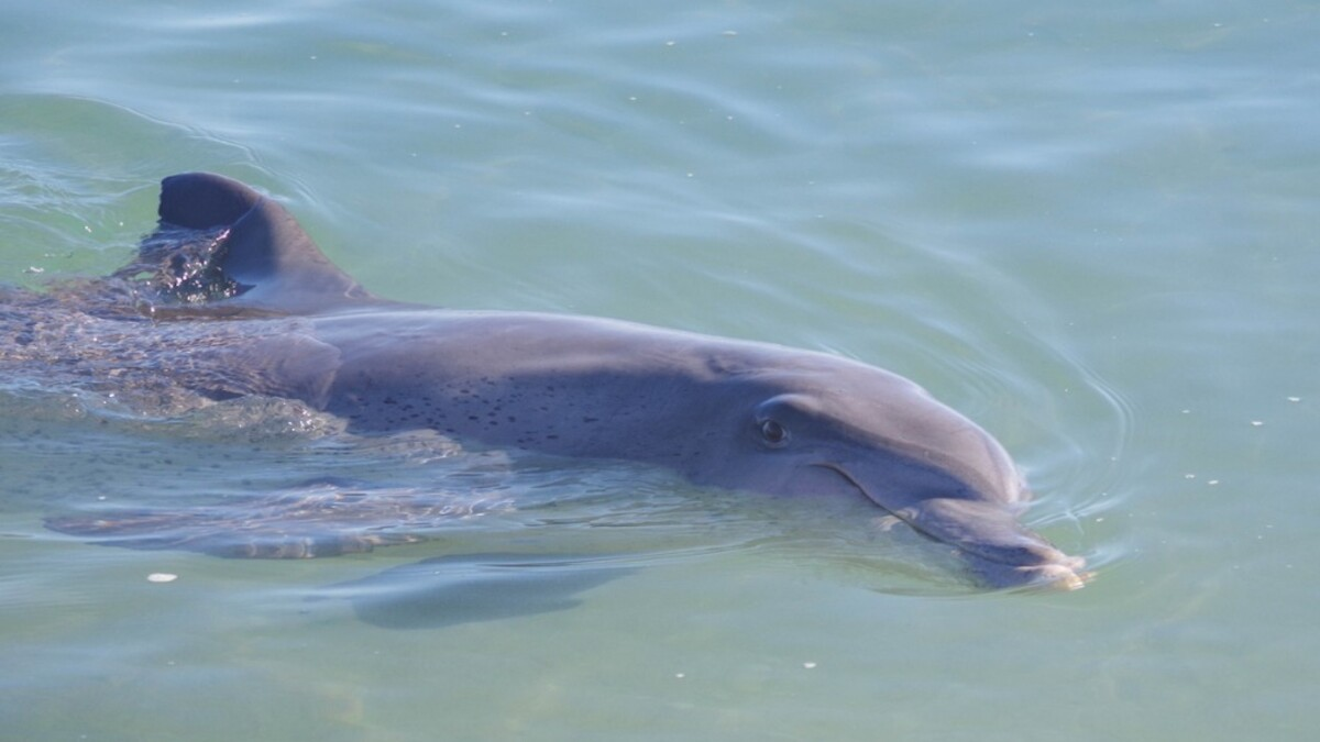 Dolphins in the Potomac: Cleaner waters prove alluring for marine life near DC