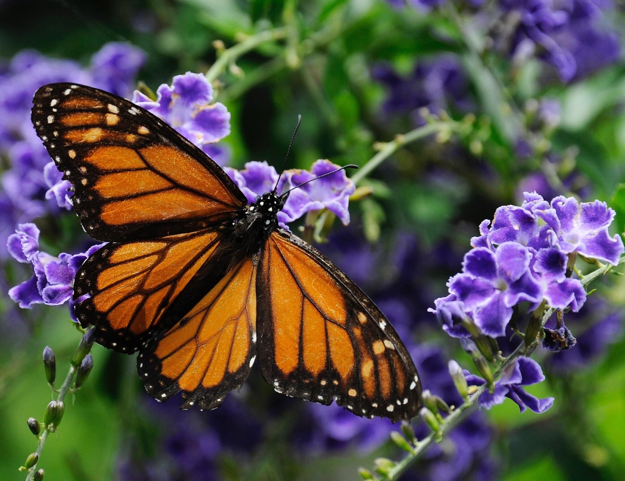 monarch mayhem 91 of butterflies vanish just 93 million of 1