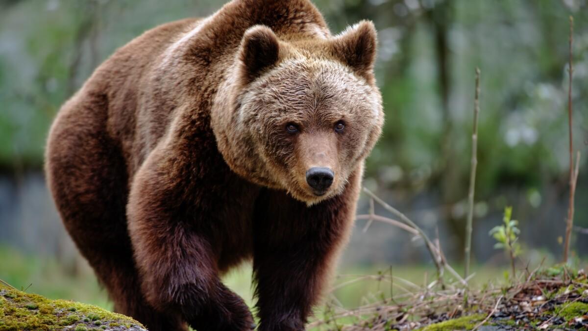 Fans cheer on brown bear roaming Italian countryside