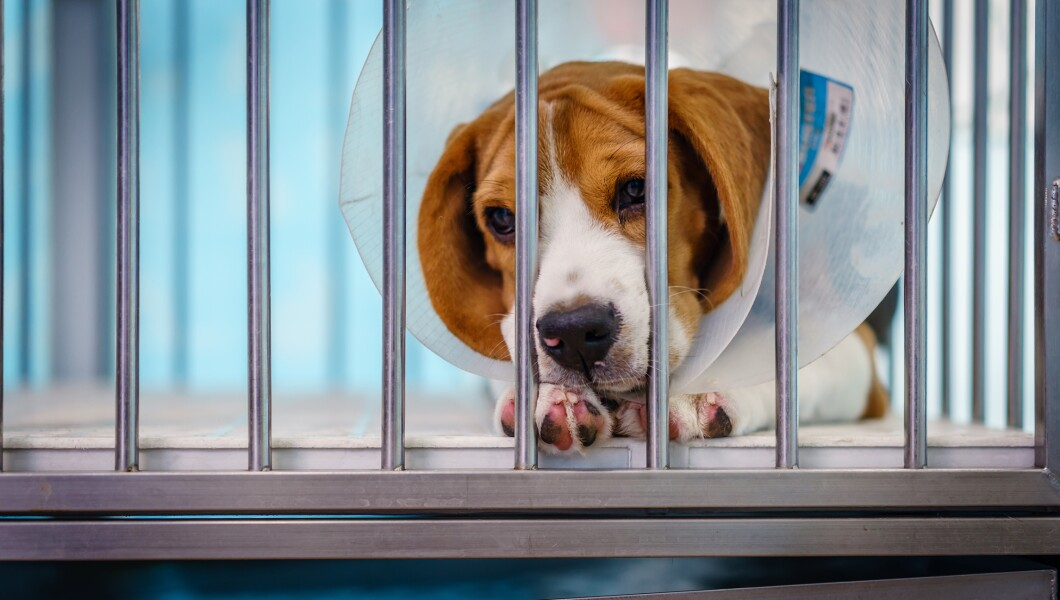Close up of A beagle dog with elizabeth collar sitting in the cage at the animal hospital/veterinary Clinic waiting for recovery from treatment and find a good home.