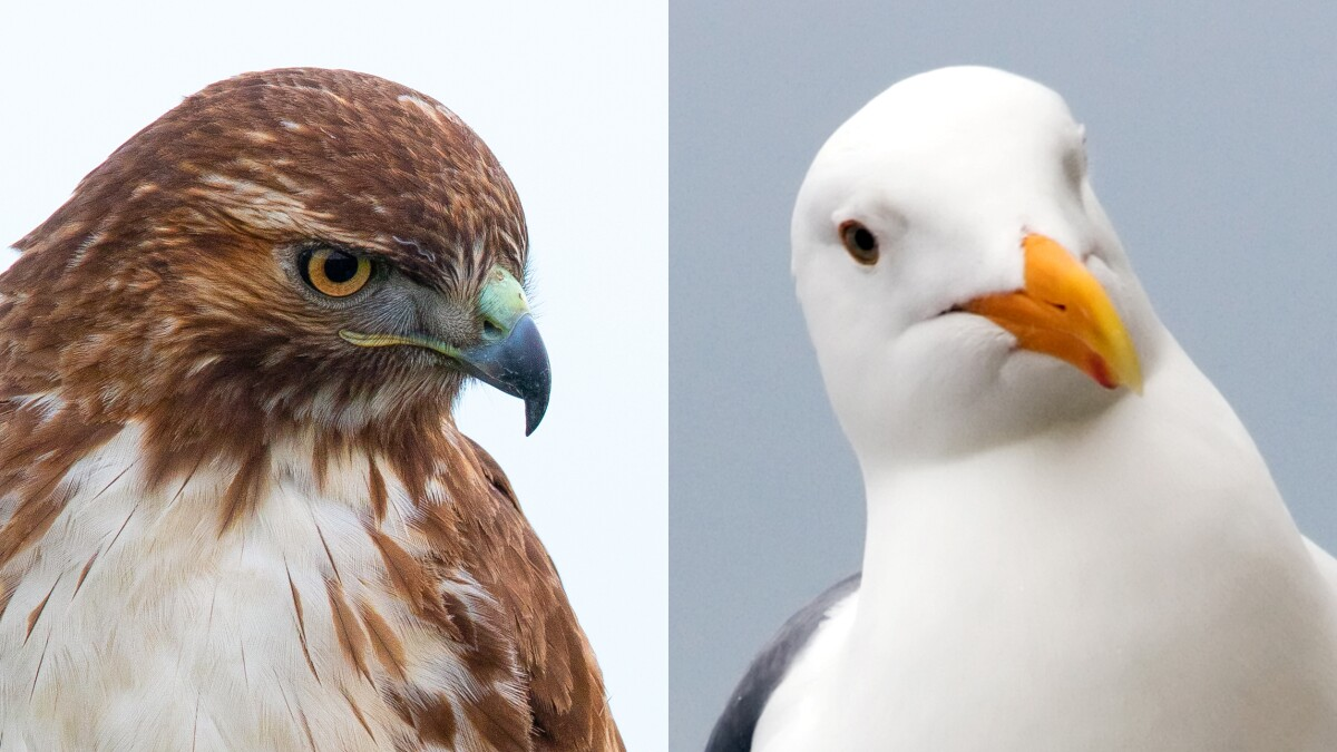 New Jersey town hires birds of prey to combat flocks of aggressive gulls
