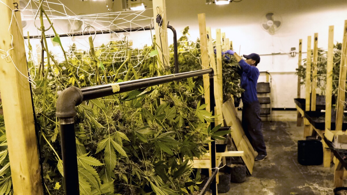 Sheriffs stir the pot, ask to weed out legalization laws