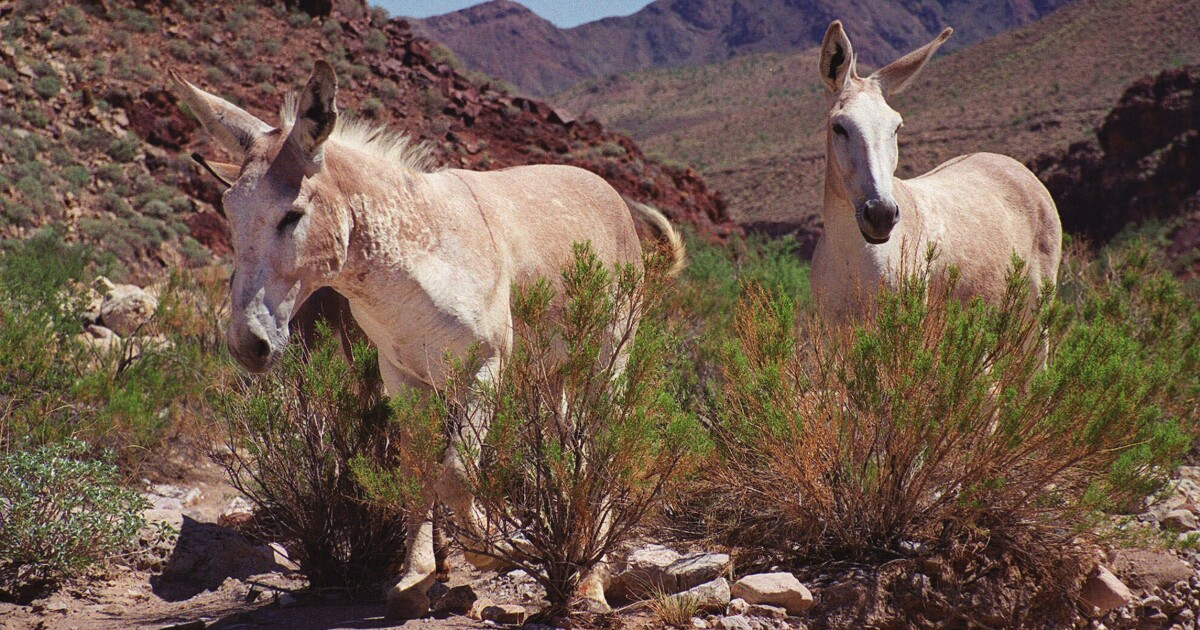 America's wild and wondrous burros are in peril