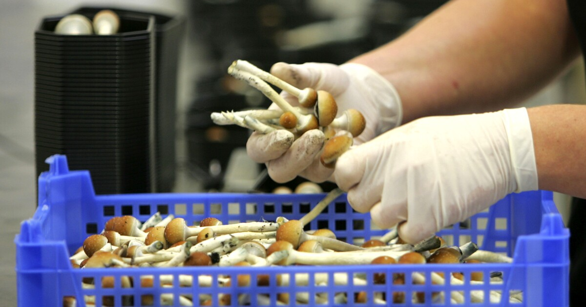 Denver voters in for a trip to the polls to decide if psychedelic mushrooms should be legal