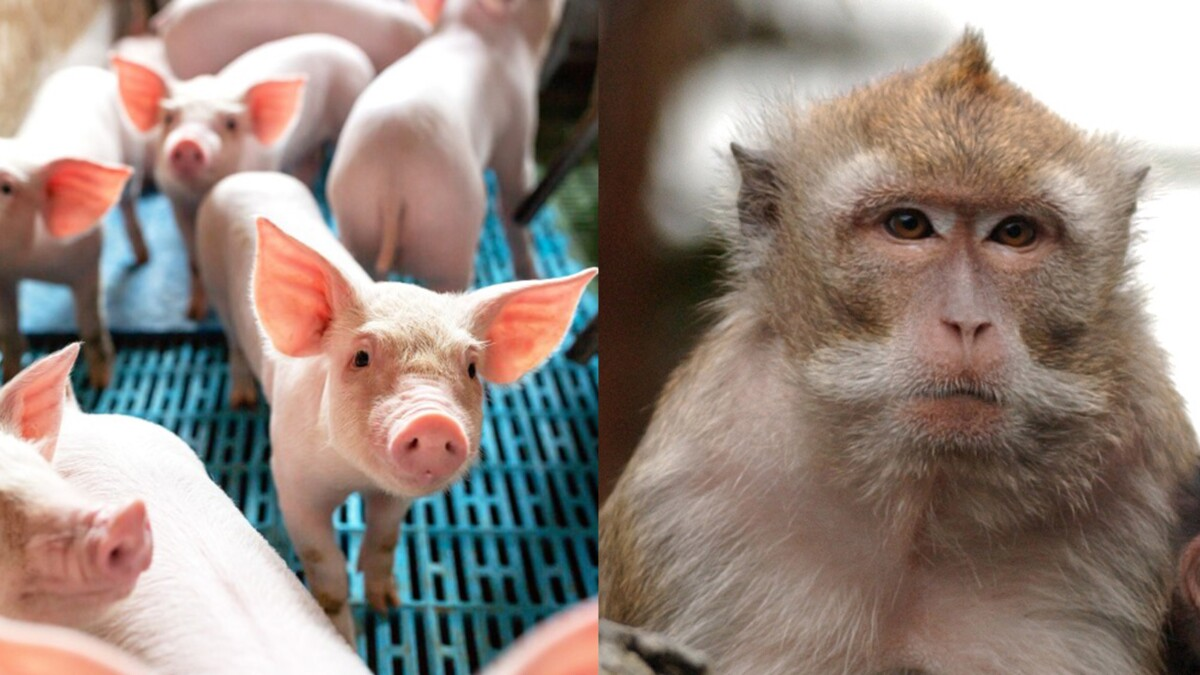 'Really scares me': China manufactures monkey-pig hybrid to research human-monkey organ transplants
