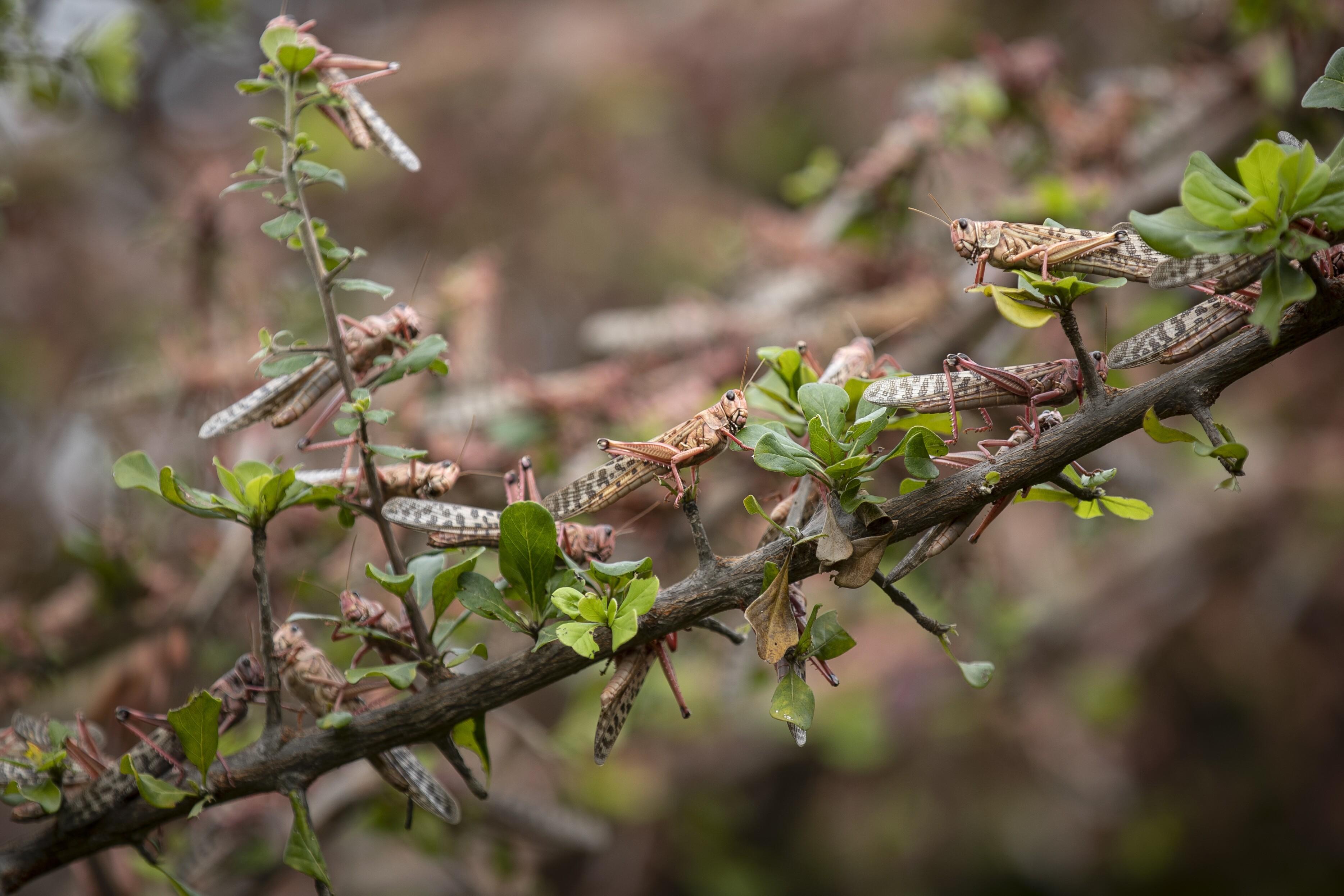 Kenya Africa Locust Outbreak
